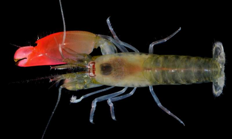 New shrimp species named after Pink Floyd